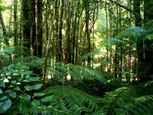 Valdivian_temperate_rainforest